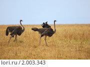 Купить «Пара африканских страусов, Кения», фото № 2003343, снято 21 августа 2010 г. (c) Знаменский Олег / Фотобанк Лори