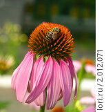 Купить «Пчела собирает мёд с цветка эхинацеи пурпурной», фото № 2012071, снято 5 июля 2010 г. (c) Самойлова Екатерина / Фотобанк Лори