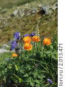 Купить «Горные цветы. Алтай», фото № 2013471, снято 26 июля 2010 г. (c) Надежда Безрукова / Фотобанк Лори