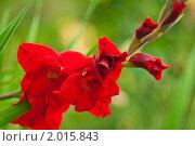 Гладиоус- сильный цветок. Стоковое фото, фотограф Анастасия Шелестова / Фотобанк Лори
