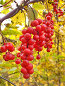 Лиана лимонника китайского с гроздьями ягод, фото № 2017511, снято 30 марта 2017 г. (c) Севостьянова Татьяна / Фотобанк Лори