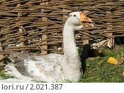 Купить «Гусь на фоне деревенского плетня», фото № 2021387, снято 24 сентября 2010 г. (c) Владимир Фаевцов / Фотобанк Лори