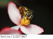 Купить «Мкуха-журчалка на цветке бегонии», фото № 2027867, снято 30 августа 2009 г. (c) Losevsky Pavel / Фотобанк Лори