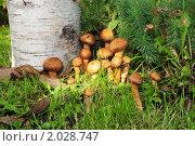 Купить «Грибы опята», эксклюзивное фото № 2028747, снято 3 октября 2010 г. (c) Юрий Морозов / Фотобанк Лори