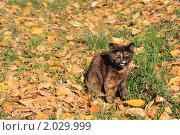 Кошка на фоне осенней листвы. Стоковое фото, фотограф Оксана Лычева / Фотобанк Лори