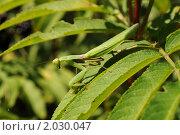 Купить «Богомол на листе», фото № 2030047, снято 21 августа 2010 г. (c) Shamigulov P.V. / Фотобанк Лори