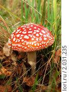 Купить «Мухомор (лат. Amanita)», фото № 2031235, снято 12 сентября 2010 г. (c) Елена Ильина / Фотобанк Лори