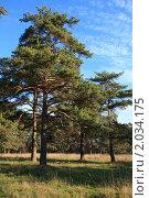 Купить «Сосны в поле солнечным осенним днем», эксклюзивное фото № 2034175, снято 8 октября 2010 г. (c) Яна Королёва / Фотобанк Лори