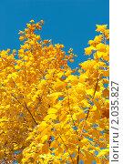 Купить «Золотая осень. Кленовые листья», фото № 2035827, снято 9 октября 2010 г. (c) Екатерина Овсянникова / Фотобанк Лори