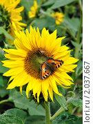 Бабочка крапивница на цветке подсолнуха. Стоковое фото, фотограф Panitchkina Natalia / Фотобанк Лори