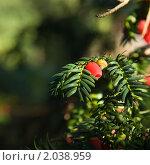 Купить «Осенняя ветка ягодного тиса  (Taxus)», фото № 2038959, снято 10 октября 2010 г. (c) Tamara Kulikova / Фотобанк Лори