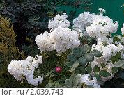 Цветы флоксы белые на зеленом фоне. Стоковое фото, фотограф Валентин Никитин / Фотобанк Лори