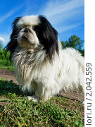 Купить «Собака породы японский хин», фото № 2042559, снято 5 июня 2009 г. (c) Ольга Денисова / Фотобанк Лори