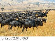 Купить «Великая миграция антилоп гну в Масаи Мара, Кения», фото № 2043063, снято 21 августа 2010 г. (c) Знаменский Олег / Фотобанк Лори