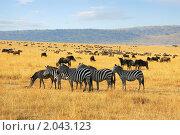Купить «Зебры и антилопы гну в национальном парке Масаи Мара, Кения», фото № 2043123, снято 21 августа 2010 г. (c) Знаменский Олег / Фотобанк Лори