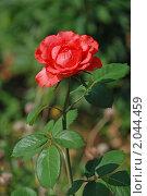 Купить «Красная роза», эксклюзивное фото № 2044459, снято 24 июля 2010 г. (c) lana1501 / Фотобанк Лори