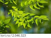 Купить «Зеленая ветка», фото № 2046323, снято 27 августа 2010 г. (c) Jan Jack Russo Media / Фотобанк Лори