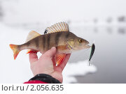Купить «Зимний улов, окунь», фото № 2056635, снято 22 февраля 2010 г. (c) Федор Кондратенко / Фотобанк Лори