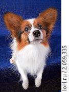 Купить «Папильон — собака-бабочка», фото № 2059335, снято 8 октября 2010 г. (c) Сергей Лаврентьев / Фотобанк Лори