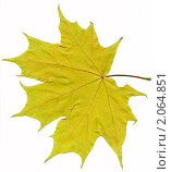 Желтый кленовый лист. Стоковое фото, фотограф Потолоков Роман Игоревич / Фотобанк Лори