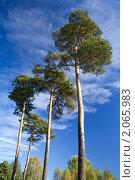 Купить «Сосны», фото № 2065983, снято 16 сентября 2007 г. (c) Алексей Ухов / Фотобанк Лори