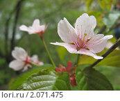 Сакура. Стоковое фото, фотограф Анастасия Харитонова / Фотобанк Лори
