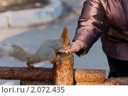 Белка пришла поесть с руки. Пешком. Стоковое фото, фотограф Виктор Водолазький / Фотобанк Лори