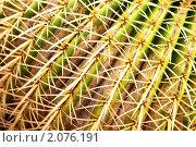 """Купить «Кактус """"золотая бочка""""», фото № 2076191, снято 5 октября 2010 г. (c) Роман Сигаев / Фотобанк Лори"""