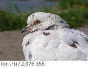 Купить «Белый голубь», эксклюзивное фото № 2076355, снято 8 сентября 2010 г. (c) lana1501 / Фотобанк Лори