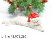 Купить «Кот на фоне новогодней хвойной ветки», фото № 2078295, снято 8 августа 2010 г. (c) Куликов Константин / Фотобанк Лори