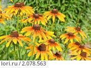 Купить «Желтая рудбекия», фото № 2078563, снято 21 июля 2010 г. (c) Оксана Гильман / Фотобанк Лори