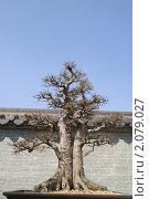 Купить «Бонсай. Маленькое дерево на фоне стены в китайском стиле», фото № 2079027, снято 6 апреля 2009 г. (c) Ольга Липунова / Фотобанк Лори