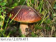 Белый гриб. Стоковое фото, фотограф Александр Чугунов / Фотобанк Лори