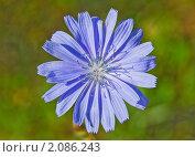 Цикорий обыкновенный (Cichorium intybus) Стоковое фото, фотограф Алёшина Оксана / Фотобанк Лори