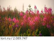 Купить «Поле Иван-чая на закате», фото № 2089747, снято 7 июля 2010 г. (c) Васильева Татьяна / Фотобанк Лори