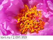 Портулак. Сердцевина цветка. Стоковое фото, фотограф Шичкина Антонина / Фотобанк Лори