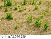 Купить «Молодые деревца тополя на выжженном солнцем газоне», эксклюзивное фото № 2096239, снято 21 июля 2010 г. (c) Алёшина Оксана / Фотобанк Лори