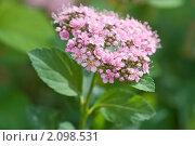 Купить «Спирея японская. Spiraea japonica», эксклюзивное фото № 2098531, снято 29 июня 2010 г. (c) Шичкина Антонина / Фотобанк Лори