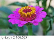 Купить «Цветок цинния», фото № 2106527, снято 8 августа 2010 г. (c) Алексей Трофимов / Фотобанк Лори