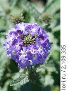 Купить «Вербена. Verbena», эксклюзивное фото № 2109335, снято 15 июля 2010 г. (c) Шичкина Антонина / Фотобанк Лори