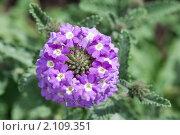 Купить «Вербена. Verbena», эксклюзивное фото № 2109351, снято 17 июля 2010 г. (c) Шичкина Антонина / Фотобанк Лори