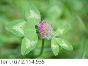 Клевер луговой. Trifolium pratense. Стоковое фото, фотограф Шичкина Антонина / Фотобанк Лори