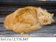 Купить «Наглый рыжий кот», фото № 2116847, снято 11 октября 2008 г. (c) WalDeMarus / Фотобанк Лори