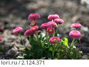 Цветы на грядке. Стоковое фото, фотограф Виктор Зандер / Фотобанк Лори