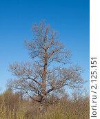 Дуб без листьев. На фоне голубого неба. Стоковое фото, фотограф Назвин Алексей / Фотобанк Лори
