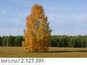 Одинокая береза. Стоковое фото, фотограф Андрей Чугуй / Фотобанк Лори