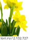 Купить «Желтые нарциссы на белом фоне», фото № 2132727, снято 10 марта 2008 г. (c) Наталия Кленова / Фотобанк Лори