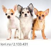 Купить «Три собаки породы чихуахуа на белом фоне», фото № 2133431, снято 10 ноября 2010 г. (c) Сергей Лаврентьев / Фотобанк Лори