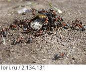Нападение муравьев на сонного шмеля весной. Стоковое фото, фотограф Владимир Лобановский / Фотобанк Лори
