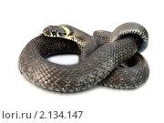 Купить «Змея крупным планом на белом фоне. Уж», фото № 2134147, снято 21 августа 2010 г. (c) Chere / Фотобанк Лори
